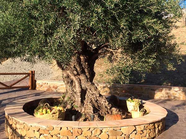 Apadrina un olivo Finca Solmark