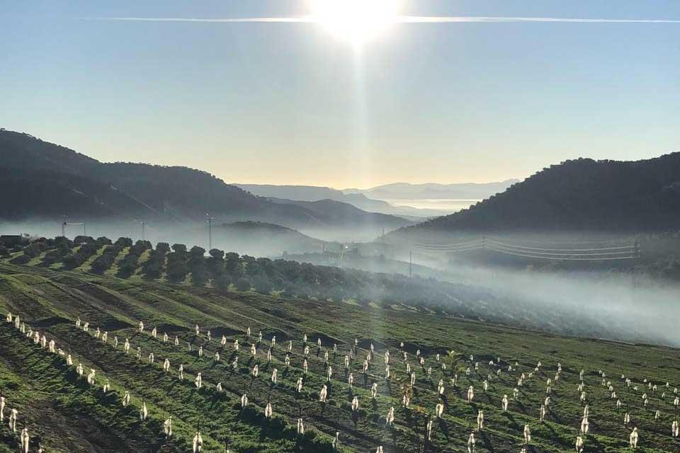 De ekologiska avokadorna från Carratraca, hälsosamma och miljövänliga delikatesser.