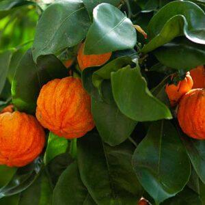 ekologisk apelsin pomerans - Finca Solmark